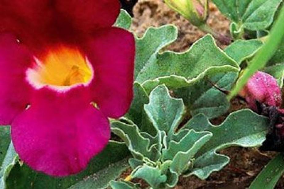harpagophytum gouttes posologie